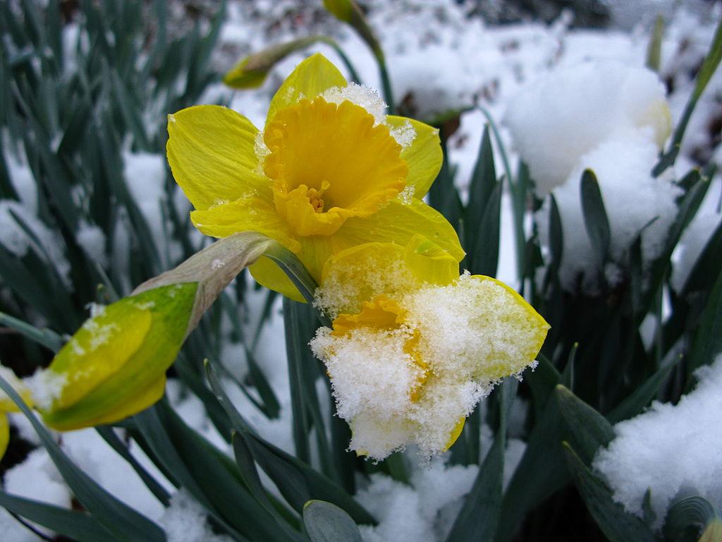 Daffodilinsnow